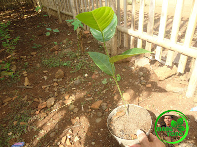 Menyiapkan bibit nangka yang mau ditanam