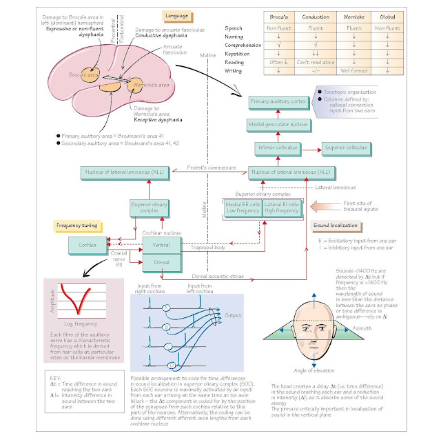 Auditory System II: Auditory Pathways And Language,