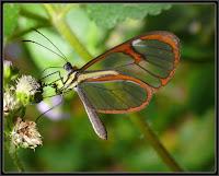 Esta é uma borboleta tóxica que, assim como sua lagarta, o adulto vai buscar a sua toxidade ao néctar de certas flores que possuem determinada toxina. Dessa forma ela mantém-se desinteressante para os possíveis predadores, e essa toxina é usada ainda pelos machos para atrair as fêmeas.