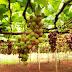 Valor diferenciado  Mel do Oeste, uva fina de mesa de Marialva e erva-mate de São Mateus do Sul são os novos produtos paranaenses com Indicação Geográfica
