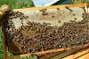 Το μεγάλο μυστικό για να παράγουν περισσότερο τα μελίσσια: Τι κάνει ένας παλιός μελισσοκόμος;