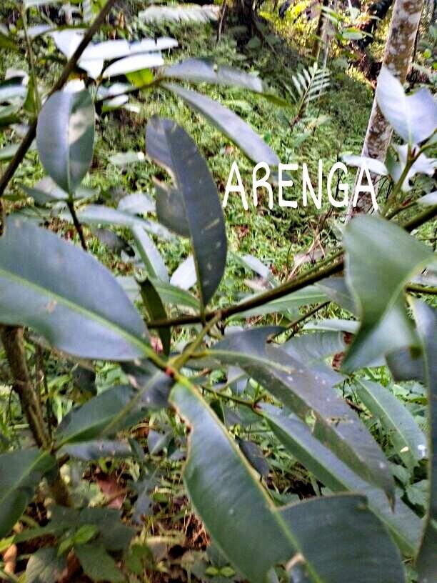 daun selatri pengawet nira ARENGA palm sugar alami