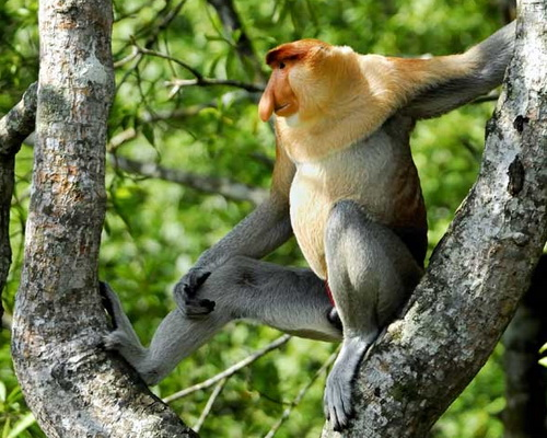 Travel.Tinuku.com Tanjung Puting National Park ship cruises watch Borneon orangutans and proboscis monkeys live in wild