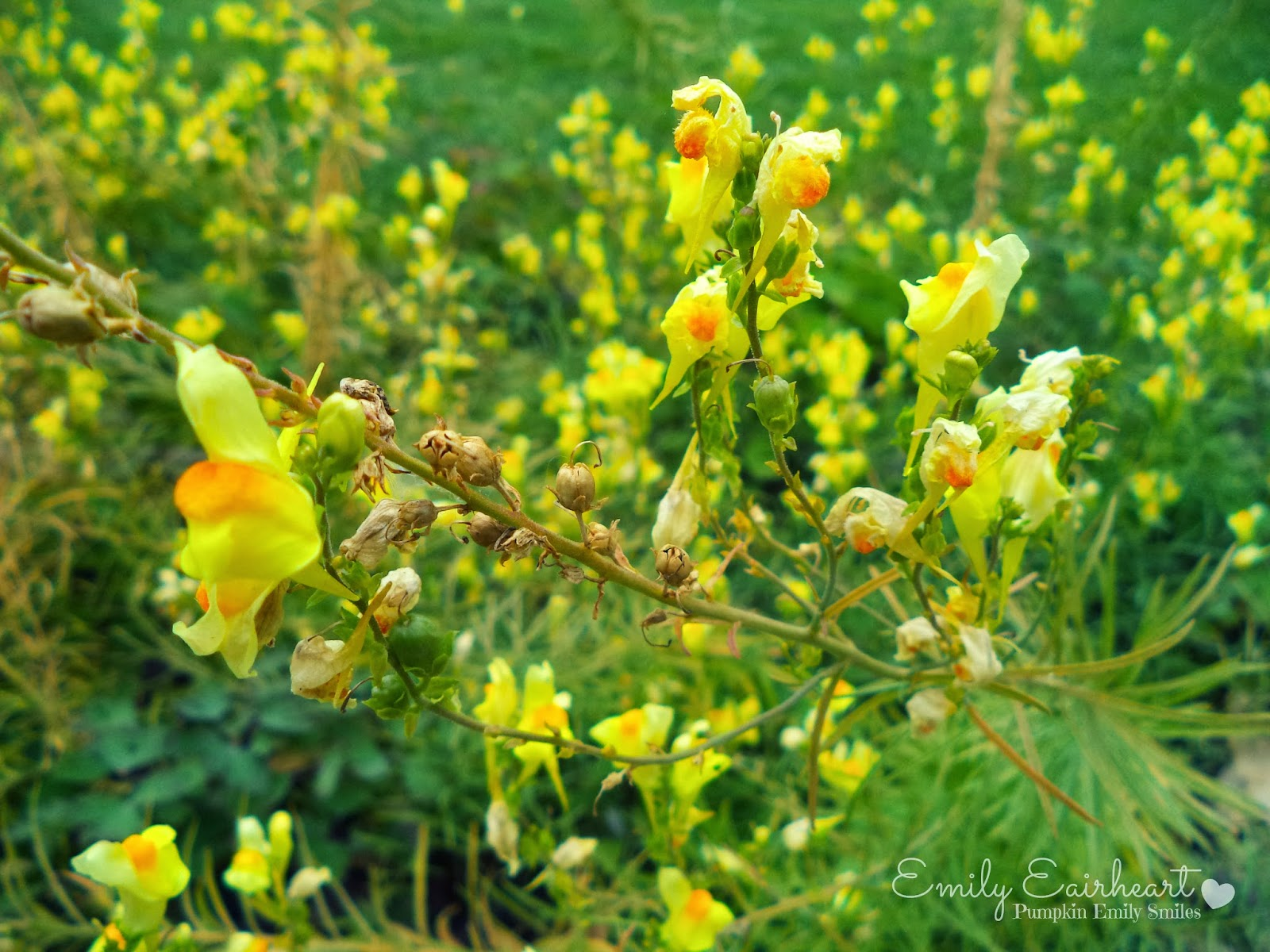 Butter and eggs or called Linaria Vulgarius