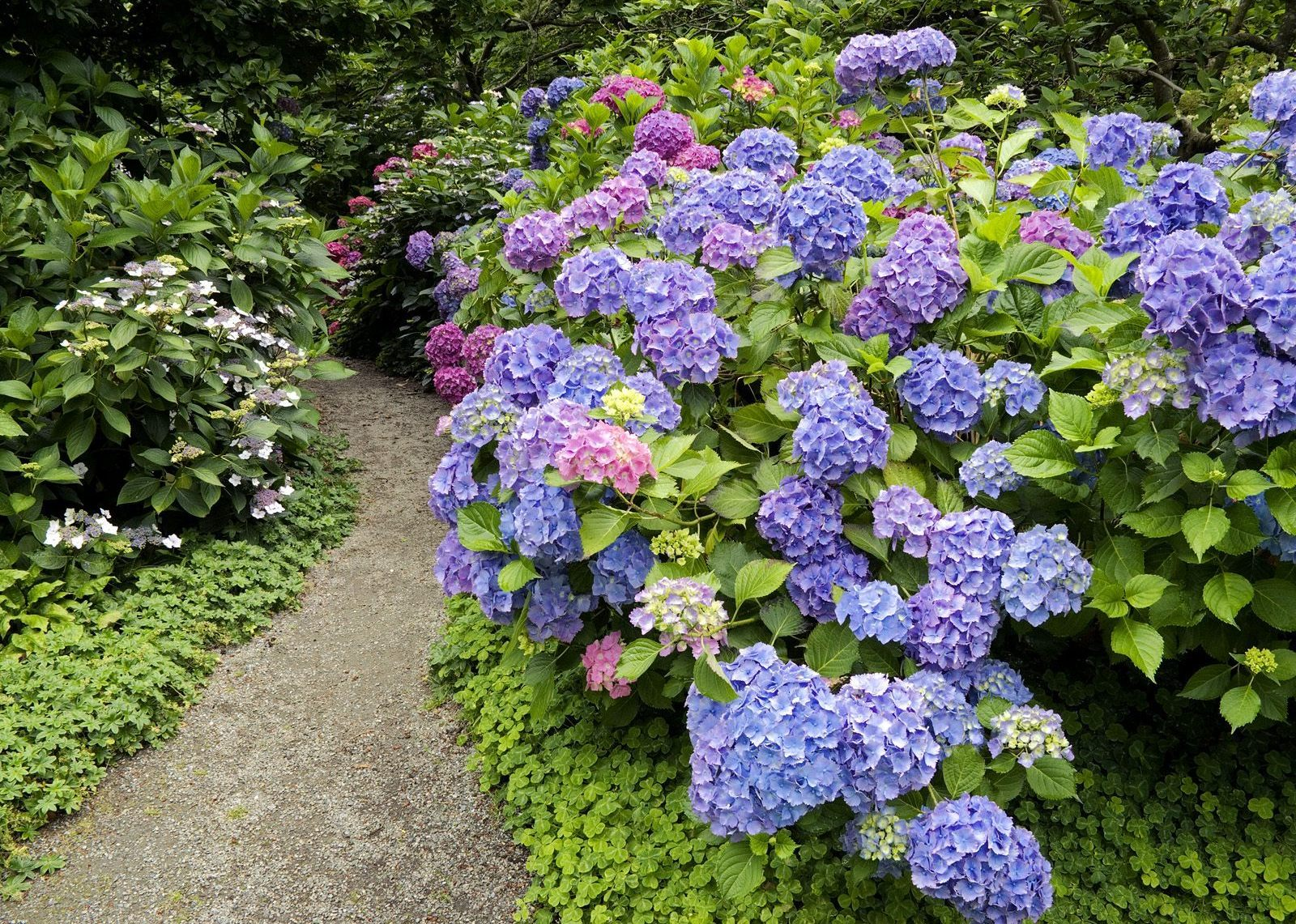 HYDRANGEA - Popular ornamental plants | kinds of ...