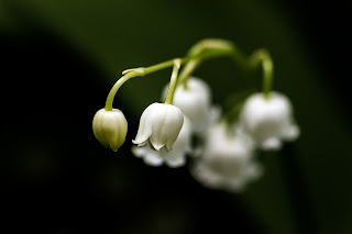 Lily of the Valley - macro image