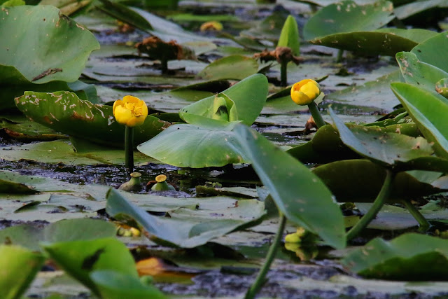 yellow water-lilly