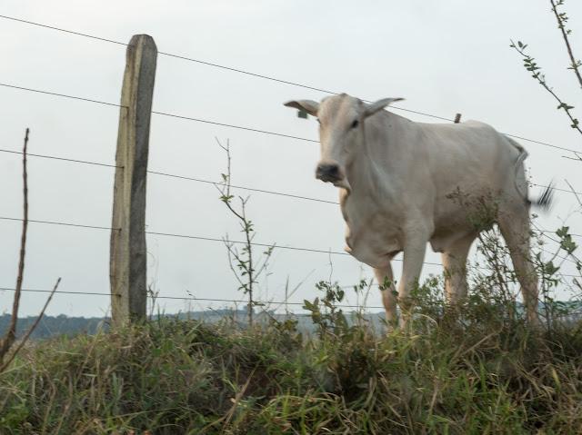 vaca próxima a uma cerca