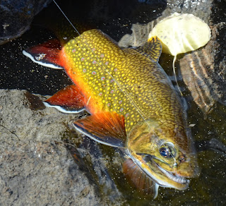callibaetis nymph fall brook trout pattern