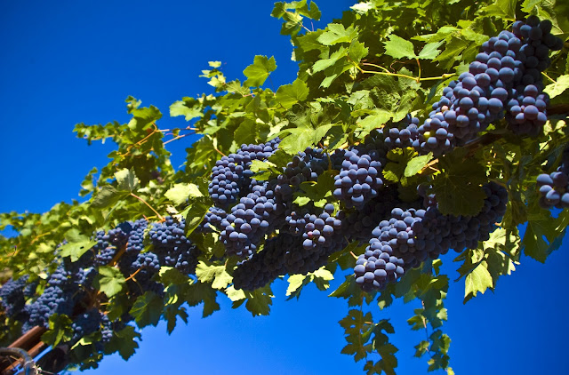 Interesting Facts And Information About Grapes In Hindi