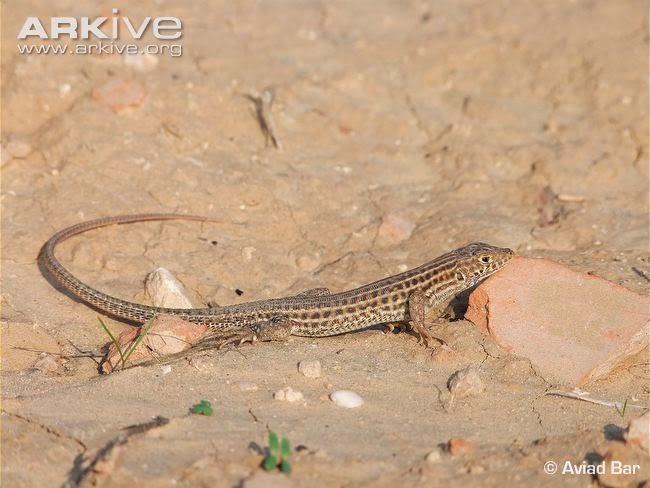 Schreiber´s fringe fingered Lizard