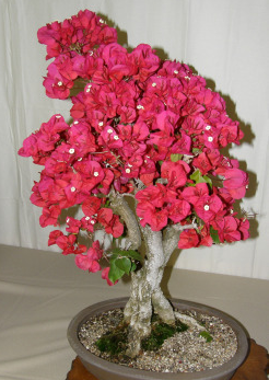 Ide Belajar Bonsai Cara Membuat Bonsai Bunga Kertas Bougenville