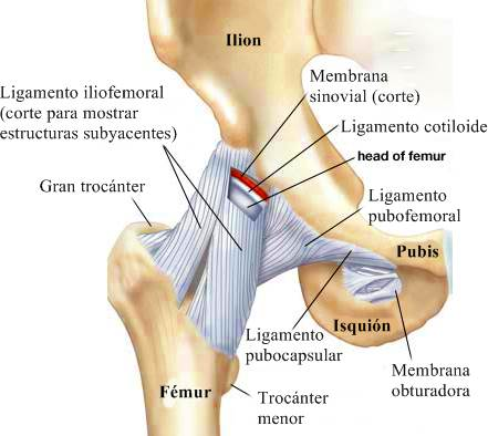 Cintura pélvica Vista anterior de la cadera y la pelvis