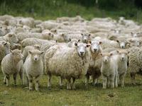 """Ternak Domba """"Keunggulan dan Cara Ternak Domba"""""""