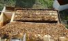 Τρόποι πολλαπλασιασμού μελισσιών: Οι πιο γνωστοί μέθοδοι που κόβουμε παραφυάδες