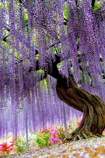 Ashikaga Flower Park in Tochigi Japan #TravelSerendipity #PhotographySerendipity #travel #photography Travel and Photography from around the world.
