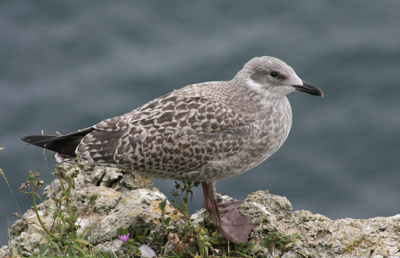 A Juvenile Herring Gull Royalty Free Stock Photos - Image ...