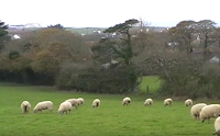 sheep near North Cornwall coast, November