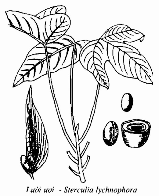 Hình vẽ CÂY LƯỜI ƯƠI - Sterculia lychnophora - Nguyên liệu làm thuốc Chữa Ho Hen
