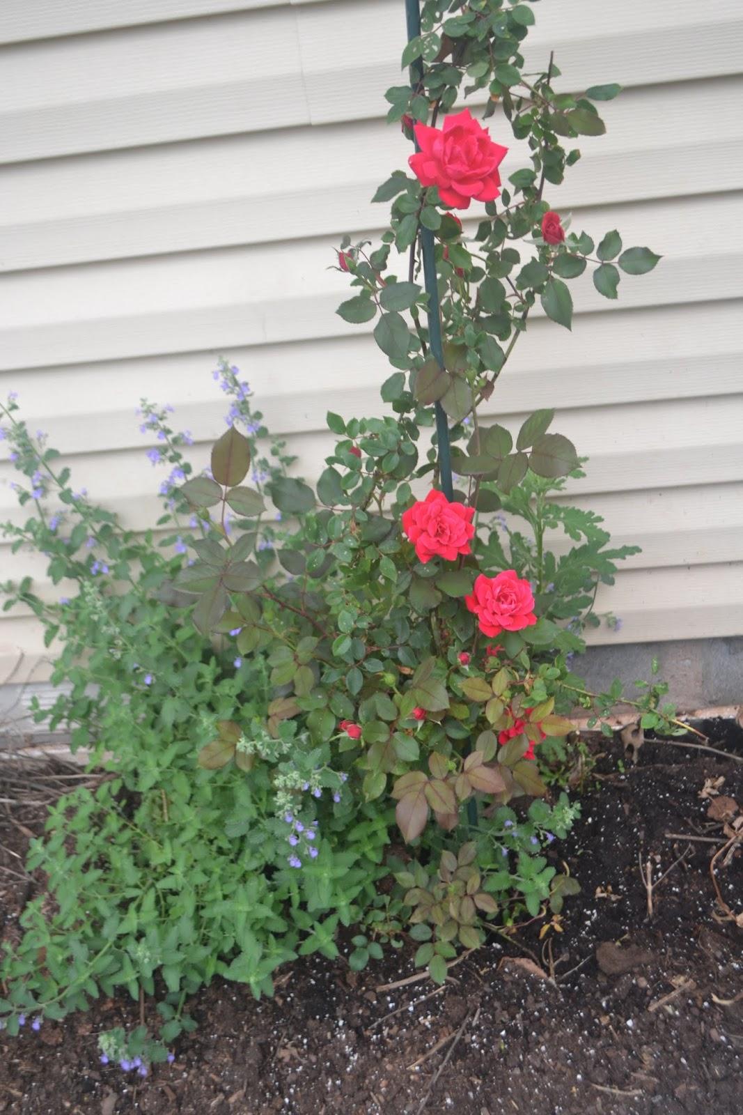 Shireesha S Blogspot 2017 Backyard Plants 1