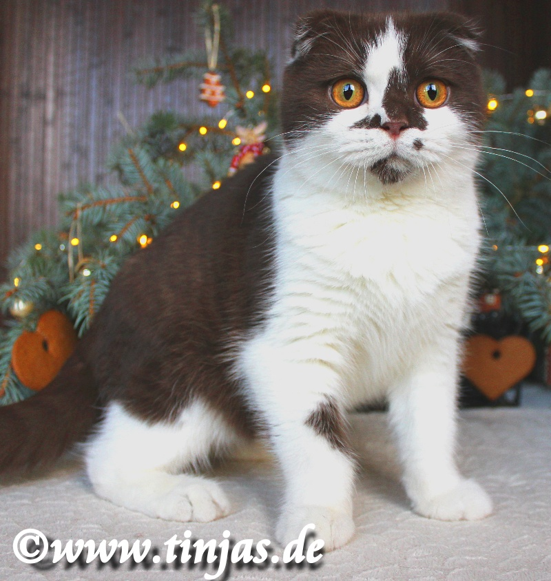 Scottish Fold aus der Tinjas Cattery chocolate-white