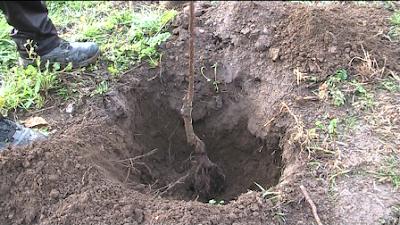 Plantando um diospireiro