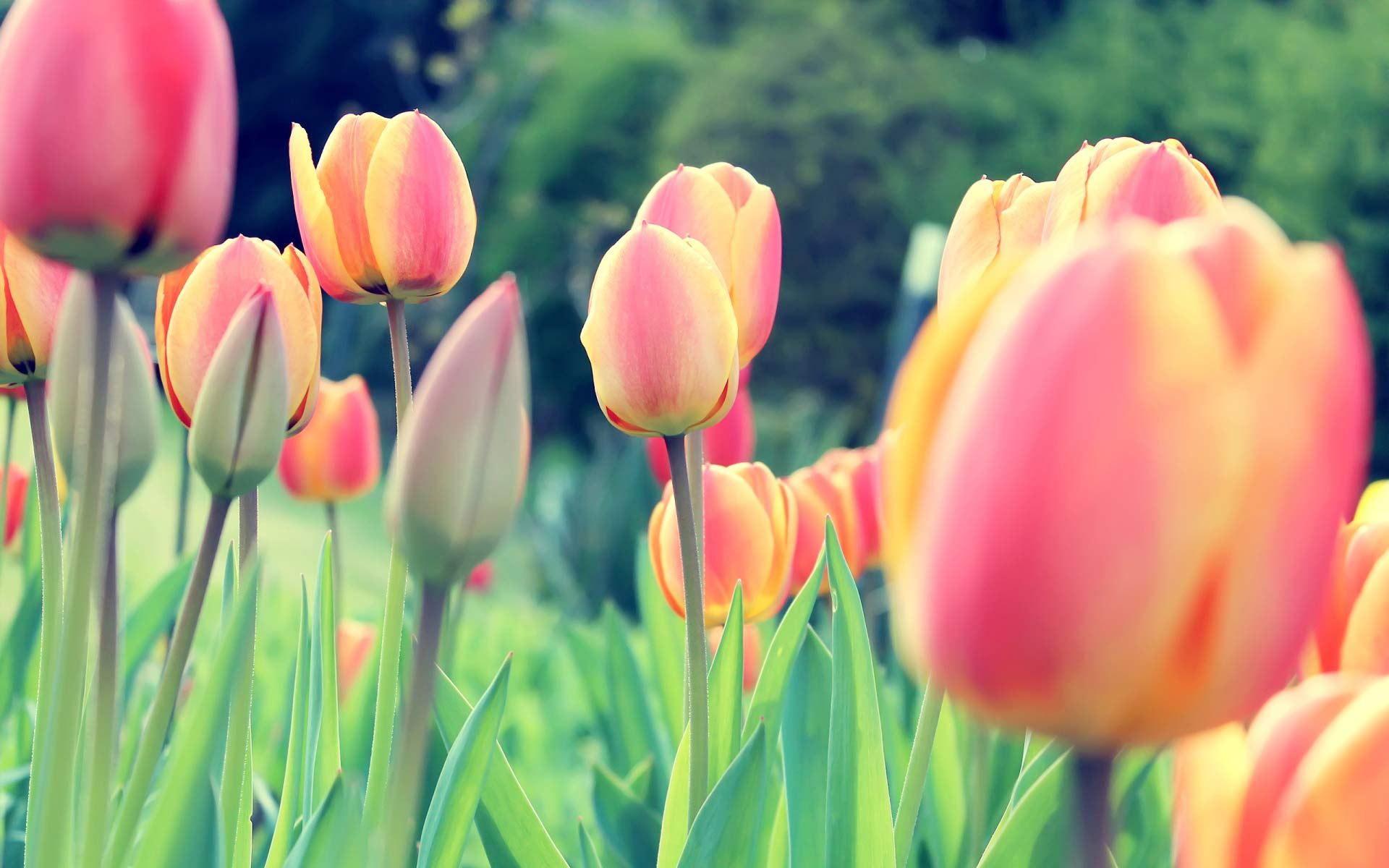 Papel de parede flores tulipas papel de parede gr tis - Tulipas para ventiladores de techo ...
