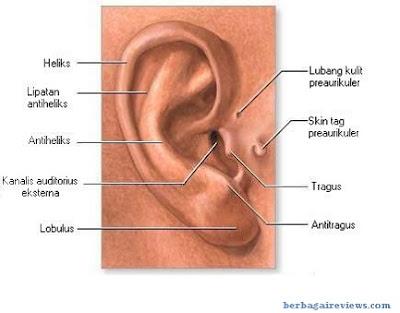 Telinga bagian luar - berbagaireviews.com