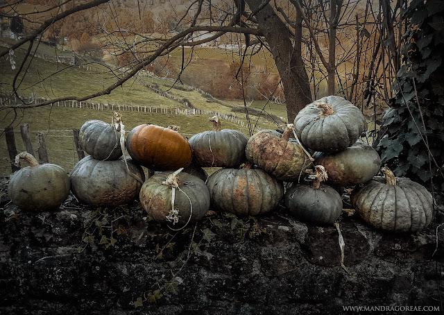 autumn second harvest of samhain pumpkins, organic garden, mandragoreae, aker dantzaria, victoria francés
