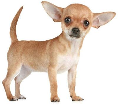 Saveti za korekciju ponašanja malog psa - Panvet Subotica