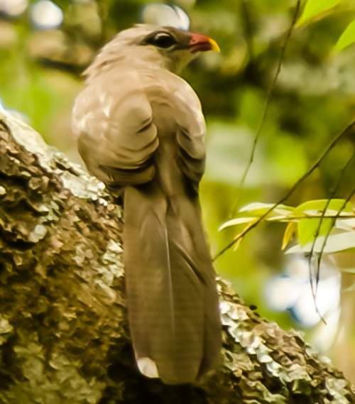 Birds of India - Photo of Sirkeer malkoha - Taccocua leschenaultii