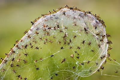 Balloning spiders babies of larger species