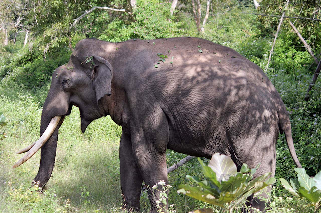 wild elephant beside the highway at Bandipur National Park