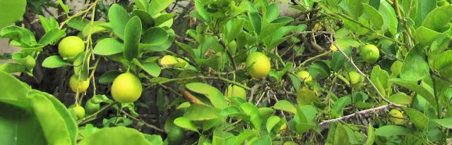 salud al alcance de un limón