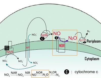 科學月刊: 一氧化氮還原酶,脫氮反應的大功臣