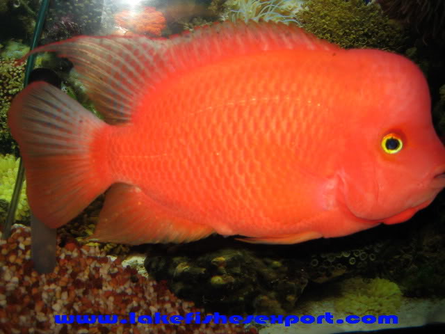 Flowerhorn The Hybrid Cichlids: Monster KOK Female Red Monkey