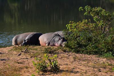 Hippopotame amphibie - Hippopotamus amphibius