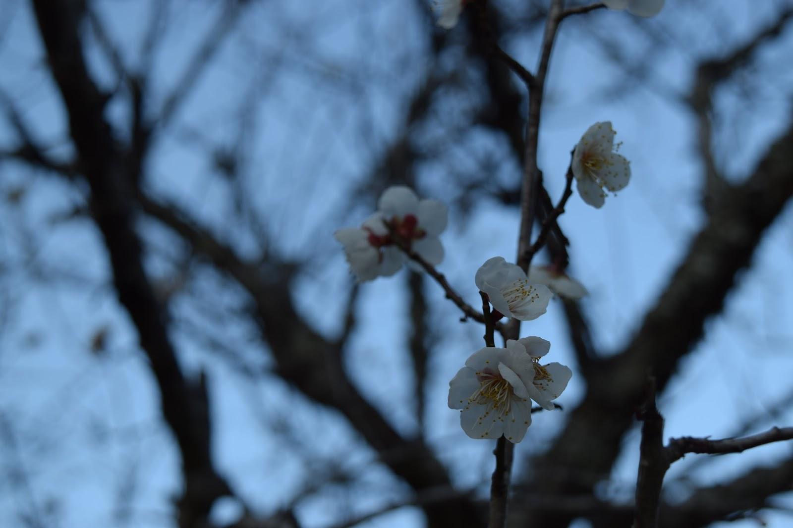 Plum blossom Iwakuni