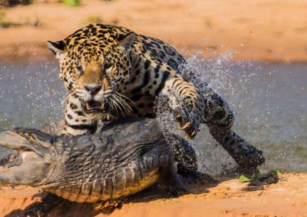 What Do Jaguars Eat >> What Do Jaguars Eat