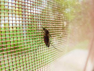 ternak kenari - kasa anti nyamuk