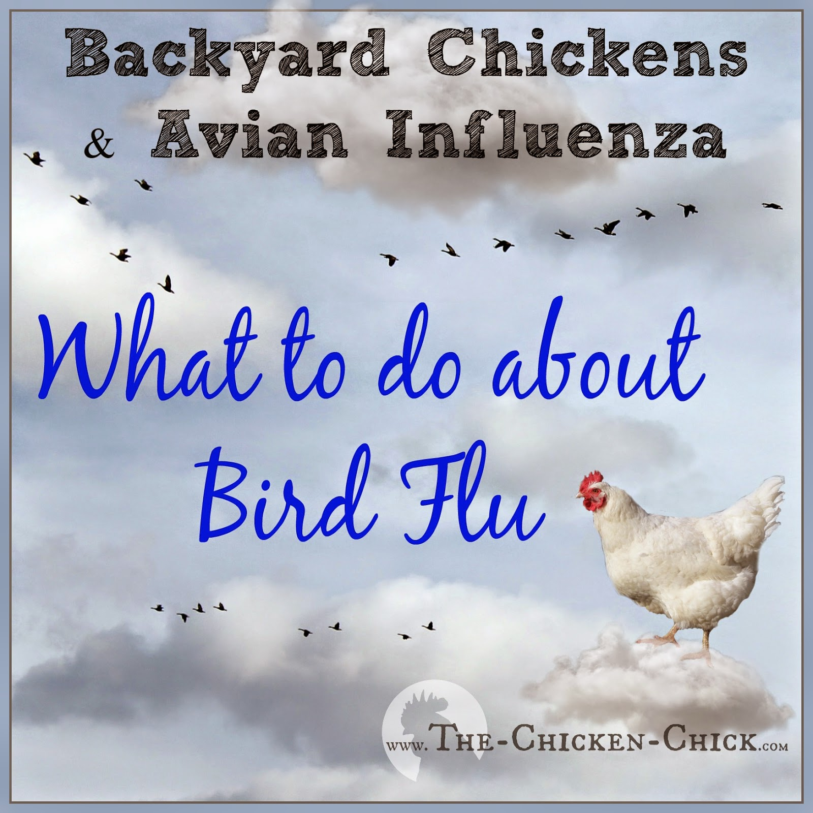 The Chicken Chick 174 Backyard Chickens Amp Avian Influenza