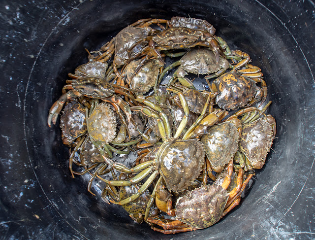 Photo of the crabs in a bucket before we took them to The Aquarium
