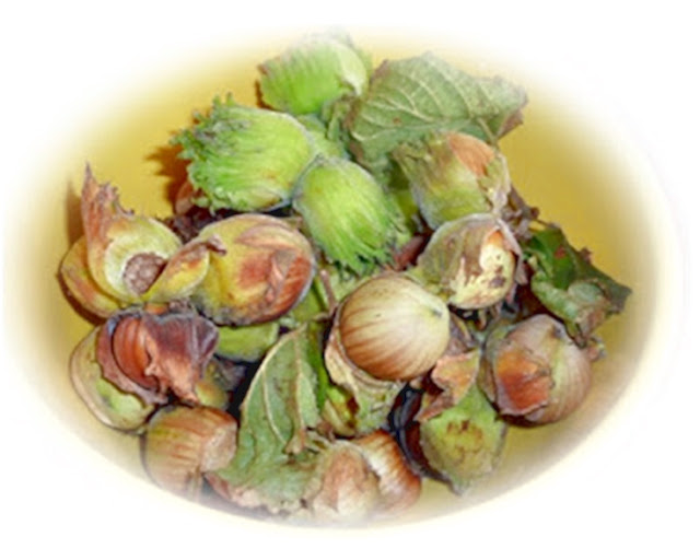freshly-foraged-cobnuts-Cornwall