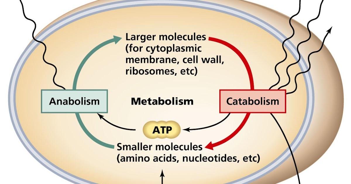 Pengertian Metabolisme Karbohidrat dan Macam-macam Metabolismenya