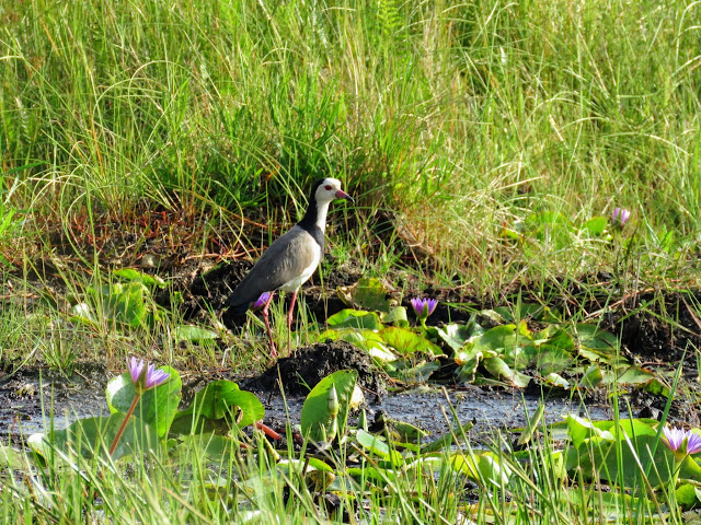 Long-toed lapwing on the edge of Lake Victoria in Entebbe, Uganda