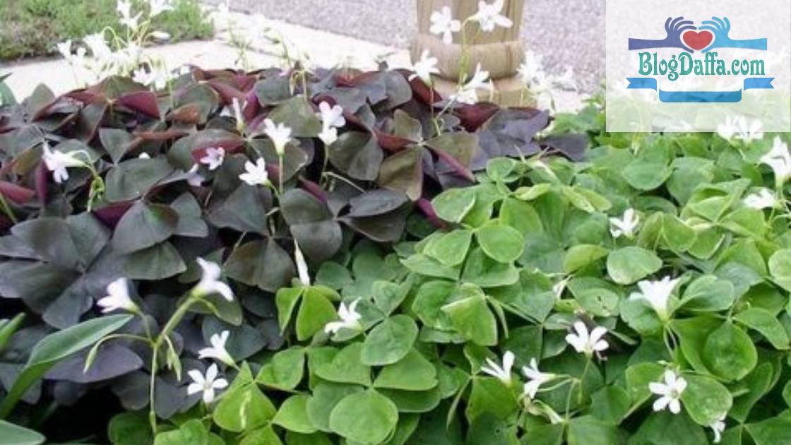 Shamrock tanaman pembawa keberuntungan