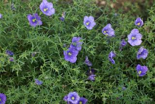 Nierembergia 'Augusta Blue Skies'