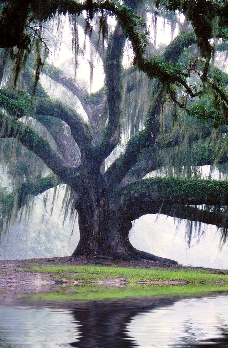 Many cultures' rituals involved ceremonies with oak trees