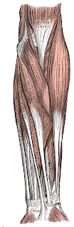 anatomie avant bras