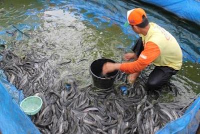 Cara Budidaya Ikan Lele Yang Benar, Cara Budidaya Ikan Lele Untuk Pemula,